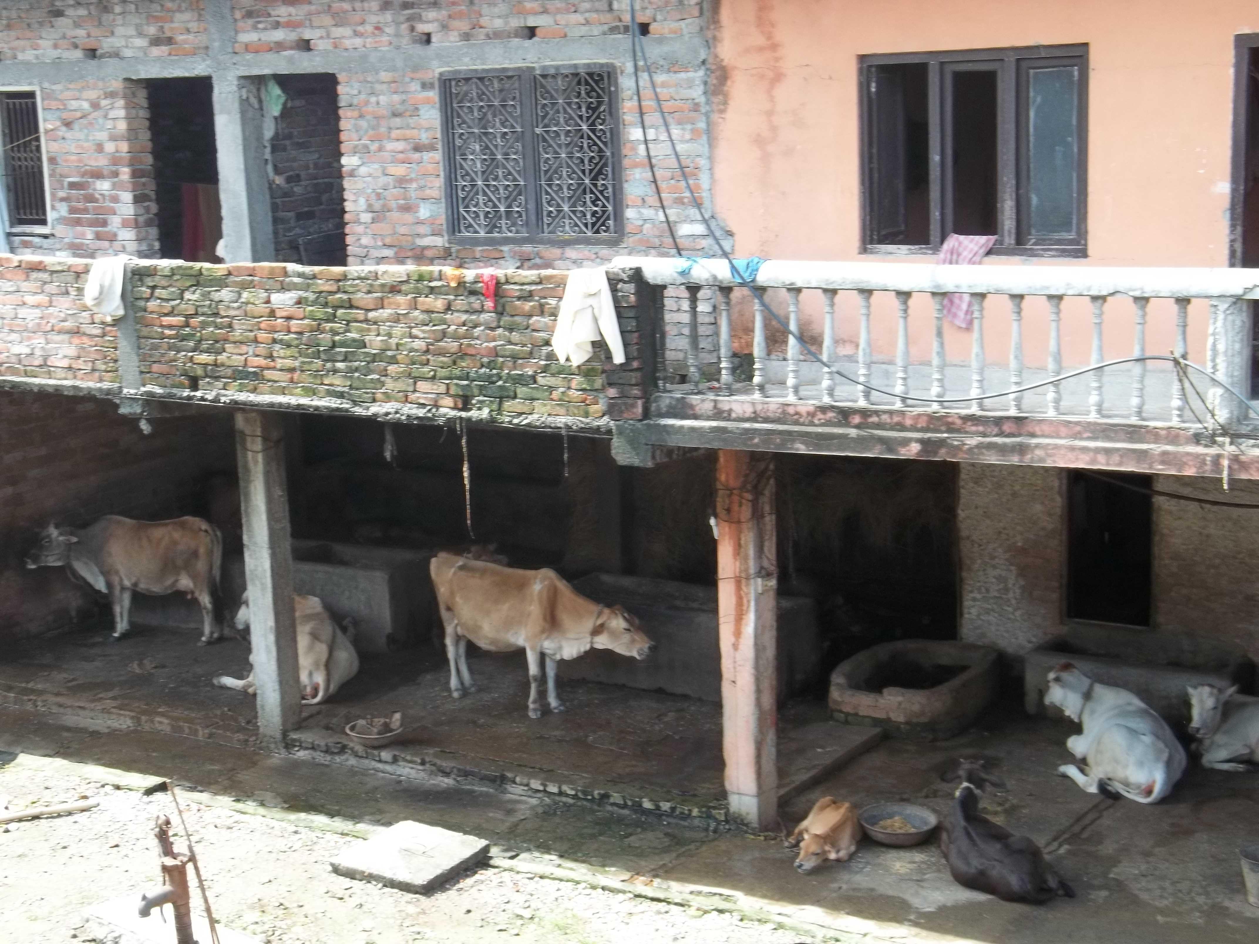 <h3> Gosala at Laxmi Narayan temple at Birat Nagar, Nepal</h3>